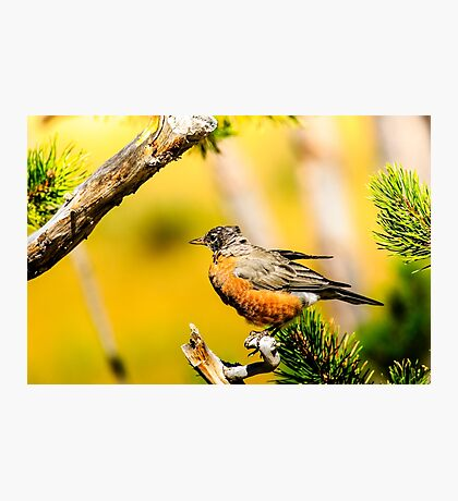 American Robin Photographic Print