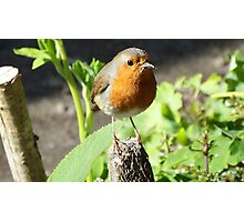 Robin with a mealworm  Photographic Print