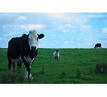 Kühe und ein Schaf Photographic Print