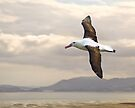 Toroa or Royal Albatross by Yukondick
