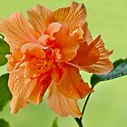 Double Hibiscus by barnsis