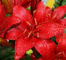 Red Lilies by Gilda Axelrod
