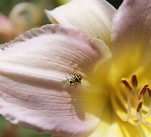 Lilybug by hbphotography