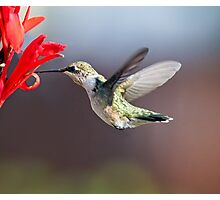 Hummingbird and Cana Lily Photographic Print