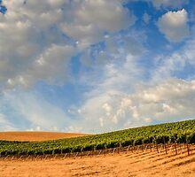 Vineyards by Radek Hofman
