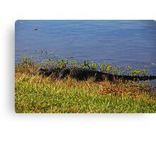 Gator in the Preserve Canvas Print