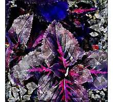 Coleus Abstract Photographic Print