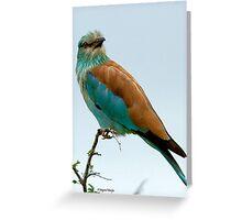EUROPEAN ROLLER - Coracias caudata - Gewone troupand Greeting Card