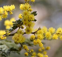 Coolah Tops Wattle by garts