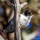 Varied Sittella by Rick Playle