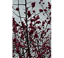 Blossoms, 2014 Photographic Print
