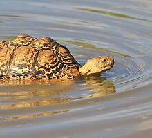 Tortoise Summer Swim - Natural Fun by LivingWild