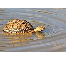 Tortoise Summer Swim - Natural Fun Photographic Print