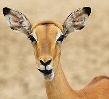 Impala Fun - Wildlife Humor from Africa.  by LivingWild