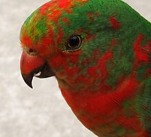 Young King Parrot by Creativity for Sanctuary for Kids