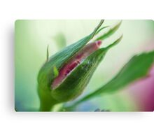 Birth of Pink Rose Canvas Print