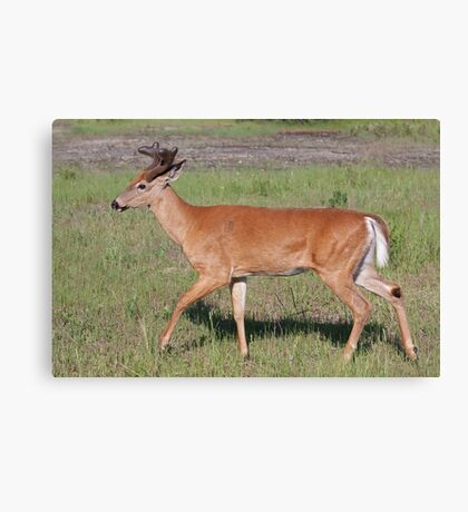 White-tailed deer with velvet antlers in spring Canvas Print
