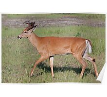 White-tailed deer with velvet antlers in spring Poster