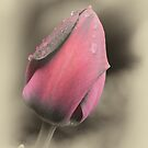Tears On A Misty Tulip by Robert Kelch, M.D.