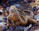Land Iguana on SantaFe Island by Yukondick