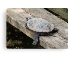 tortoise on lake Canvas Print