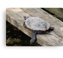 tortoise on lake Canvas Print
