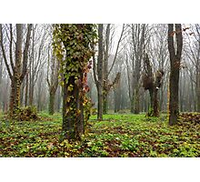 red ivy on trees Photographic Print