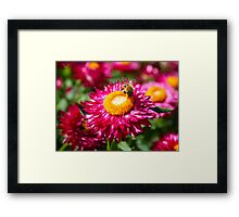 Helichrysum bracteatum with a busy bee Framed Print