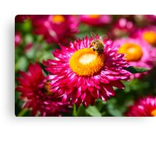 Helichrysum bracteatum with a busy bee Canvas Print