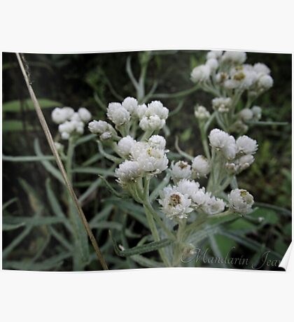 White Flowers Macro Poster