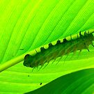 The Very Hungry Caterpillar by Barnbk02