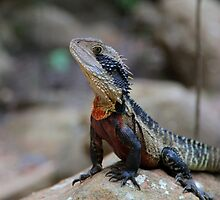 Water Dragon - Colourful Australian Lizard by Erland Howden