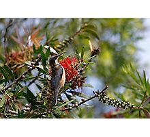 Eastern Spinebill Photographic Print