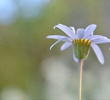 Daisy by Glenda Williams