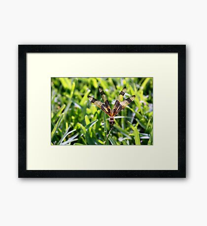 Dragonfly on a blade of grass Framed Print