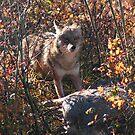 Prairie wolf  by zumi