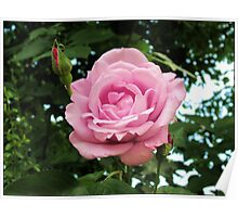 Pink Rose and Buds Poster