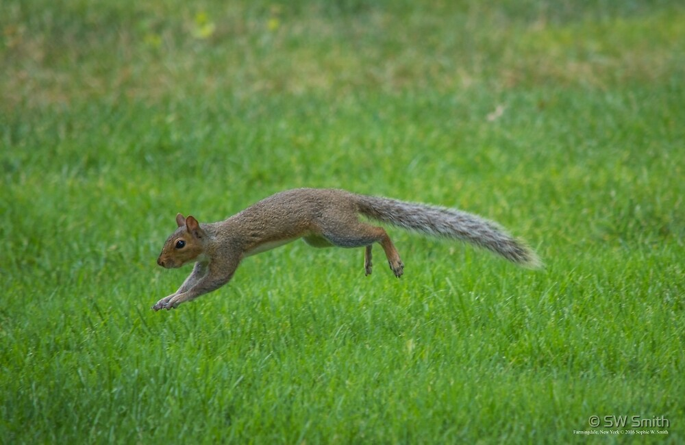 Sciurus Carolinensis - Eastern Gray Squirrel - Pinelawn Memorial Park And Garden Mausoleums | Farmingdale, New York by © Sophie W. Smith