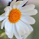white daisy by Jeannine de Wet