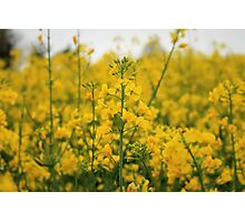 Field of Yellow Sunshine Photographic Print