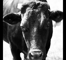 Old Dexter cow by Danielle Espin