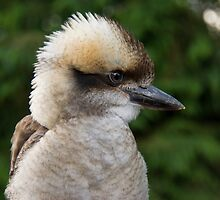 Laughing Kookaburra by M.S. Photography/Art