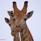 THE GIRAFFE, a perfect pose -  Giraffa camelopardalis by Magaret Meintjes