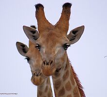THE GIRAFFE, a perfect pose -  Giraffa camelopardalis by Magaret Meintjes