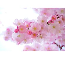 Japanese Cherry Trees Photographic Print
