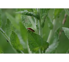 Red Soldier Beetle  Photographic Print