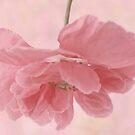 Pretty Pink Poppy Macro by Sandra Foster