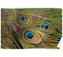 Peacock Feathers Poster