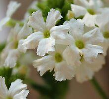 Litttle White Flower by snapclicksmile