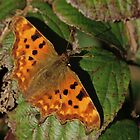 Comma On Dying Leaf by Adrian Wale